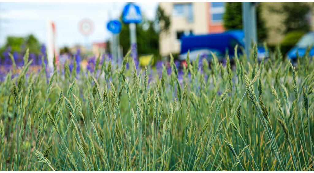 Miasto ogranicza koszenie trawników – będzie bardziej ekologicznie